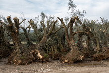 Uprooted Mature Olive Trees