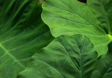 Elephant Ear Leaf Background