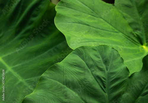 Fotografija Elephant Ear Leaf Background