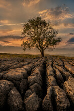 Limestone Pavement And Lone Tree At Sunrise In Malham In The Yorkshire Dales, North Yorkshire.