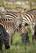 Vertical Portrait Of A Young Zebra Looking At Camera Standing Amongst Its Herd In Serengeti National Park In Tanzania