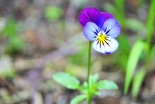 Viola Tricolor Flower (known A...