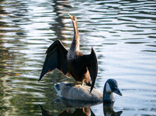 Florida Anhinga Perched On A Duck