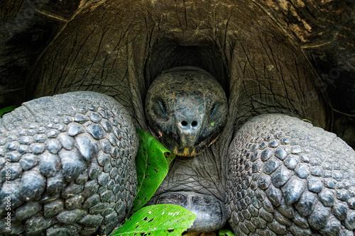 Slika na platnu Galapagos Giant Tortoise (Geochelone Elephantophus), Santa Cruz Island, Galapago