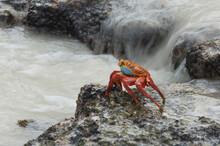 Sally Lightfoot Crab (Grapsus ...