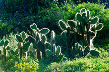 Giant Prickly Pear Cactus, Dra...