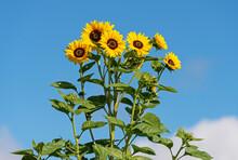 Tall Sunflowers On Blue Sky