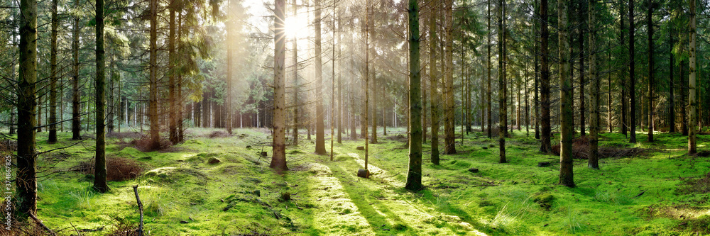 Fototapeta Coniferous forest with the ground covered with moss in the light of the morning sun