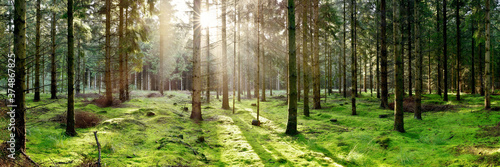 Coniferous forest with the ground covered with moss in the light of the morning sun
