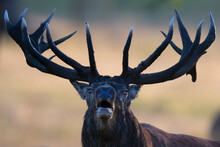 Close Up Of A Red Deer Looking At Camera
