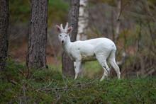 White Roe Deer