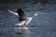A Greylag Goose Taking Off