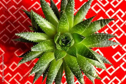 Fotografia, Obraz Aloe aristata succulent plant