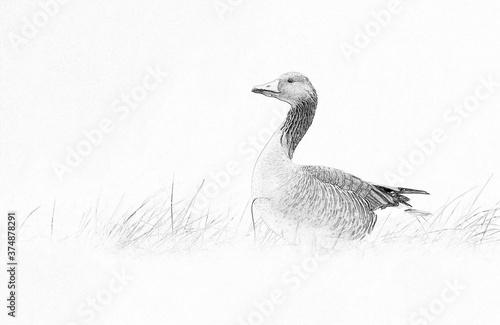 Obraz na płótnie Greylag goose (Anser anser) - sketch