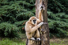 Gibbons Belong To The Group Of...
