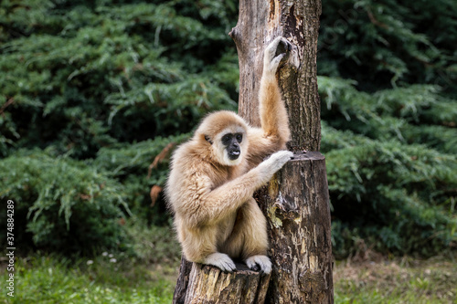Gibbons belong to the group of lesser apes. Gibbons live in subtropical and tropical rainforest from eastern Bangladesh to Northeast India to southern China and Indonesia