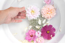 Spa, Regeneration Concept. Closeup Of Woman Hand. Pink Phlox, Roses, Dahlia And Cosmos Flowers Floating In White Bowl Of Water. Feminine Summer Tranquile Lifestyle Composition. Garden Relaxation.