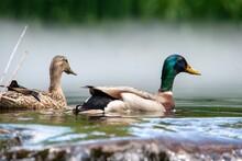 Lil Duckies