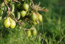Closeup Of Green Autumn Pears ...