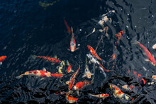 Koi Swimming In A Water Garden,fancy Carp Fish,koi Fishes,koi Fish Swim In Pond.