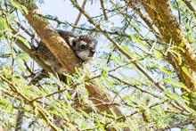 Southern Tree Hyrax (Dendrohyrax Arboreus), In A Tree Near Ilkeliani Camp, Maasai Mara, Kenya.
