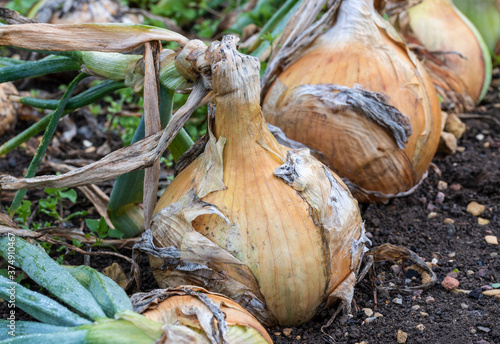 Foto Close up of large ripe Onion 'Ailsa Craig' growing in the earth in rows on allotment