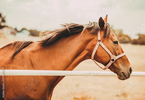 Portrait of a brown horse. Farm animals. Fototapeta