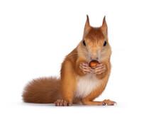 Red Japanese Lis Squirrel, Sit...