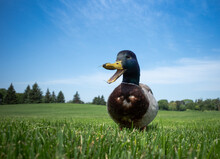 Duck On The Grass And The Sky