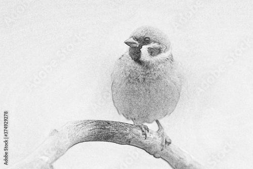 Cuadros en Lienzo Tree sparrow (Passer montanus) - sketch