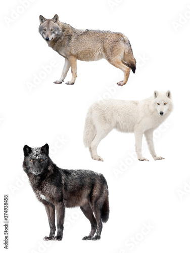 Foto Three kinds of wolves isolated on white background.