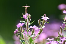 Soapwort (saponaria) With Wild Bee