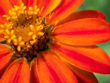 Orange Flame Zinnia Summer Blossom Close Up