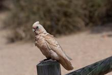 Corella Perches On Fence Post At Cape Range National Park