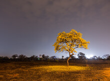 An Yellow Ipe Blossoming In Brasilia After A Fire Wiped Most Of The Vegetation Surrounding It.