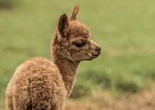 Młoda Brązowa Alpaka Na Zielnoej Trawie