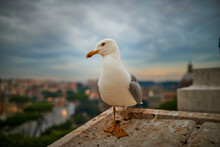 Large Gray Seagull Nearby Basi...