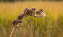 Five Harvest Mice On An Ear Of Wheat, Indiana, USA