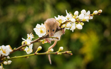 Harvest Mouse Climbing On A Flower Blossom Branch, Indiana, USA