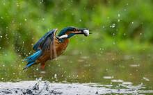 Male Kingfisher Catching Fish, Indiana, USA