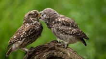 Portrait Of An Owl Feeding Her...