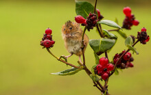 Harvest Mouse On A Plant Eatin...