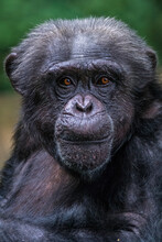 Portrait Of An African Chimpan...