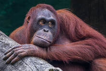 Portrait Of A Male Orangutan, ...