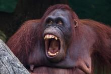 Portrait Of A Male Orangutan W...