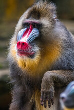 Portrait Of A Male Of Mandrill Monkey, Indonesia