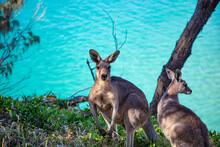 Two Kangaroos By The Ocean, North Stradbroke Island, Moreton Bay, Queensland, Australia