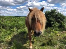 Miniature Pony, New Forest, Hampshire, England, UK