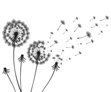 Vector Illustration Dandelion Time. Two Dandelions Blowing In The Wind. The Wind Inflates A Dandelion Isolated White Background