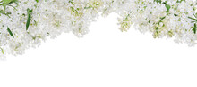 Isolated Pure White Lush Lilac...